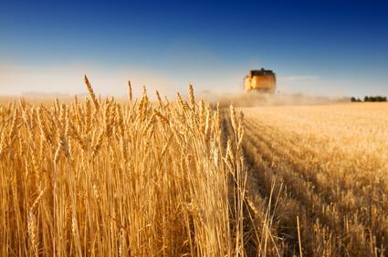 Culture blé céréales