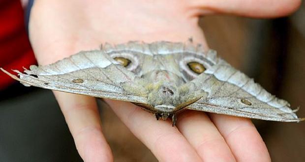 Madrid envahie par des papillons de nuit enviro2b - Signification papillon de nuit ...