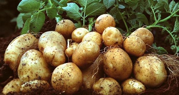 Pomme de terre OGM Amflora (crédit BASF)