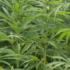 Chanvre- cannabis