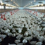 Elevage industriel de poulets (crédits Joe Valbuena)