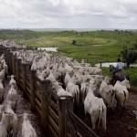 Elevage en Amazonie (crédits Greenpeace)