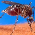 Moustique Aedes