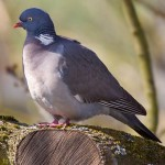 Pigeon ramier (crédit Andreas Trepte)