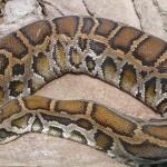 Python Birman