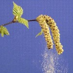 pollens de bouleau