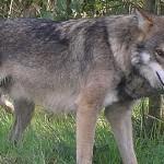 Loup commun européen - crédit Retron