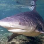 Requin bouledogue - crédit Albert Kok