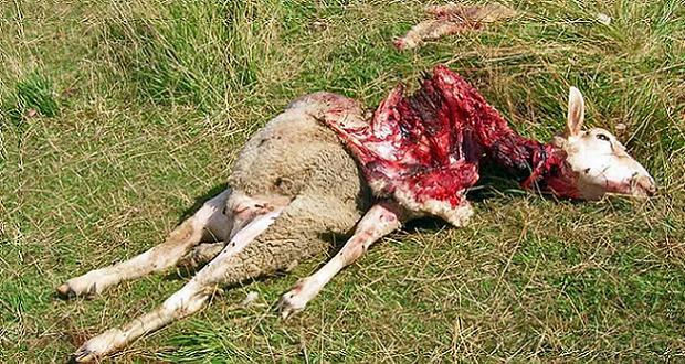 Brebis tuée par une attaque de loup
