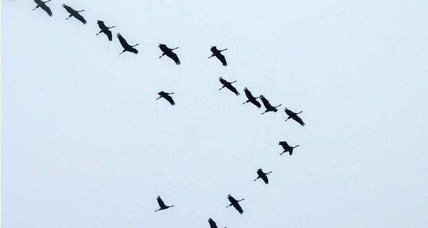 Oies sauvages en vol